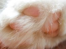 Fluffy and white cat`s paw with pink pads. computer monitor background stock photo