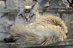 Fluffy White Cat Stock Image