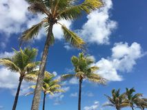 Tropical Palm Trees with Brilliant Blue Sky. Fluffy white clouds in the bright blue sky behind tropical palm trees blowing in the wind at the beach in sunny royalty free stock images