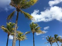 Tropical Palm Trees with Brilliant Blue Sky and White Clouds. Fluffy white clouds in the bright blue sky behind tropical palm trees blowing in the wind at the stock photo