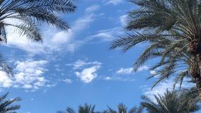 Fluffy white clouds drift calmly past palm tress