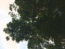 Outstretched Tree and Sky royalty free stock image
