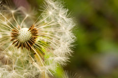 Fluffy white dandelion Stock Image