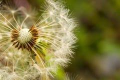 Fluffy White Dandelion Stock Image