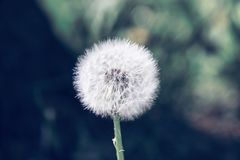 Fluffy white dandelion against the background of grass. And wood Royalty Free Stock Photos