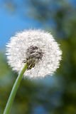 Fluffy white dandelion Royalty Free Stock Photo