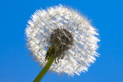 Fluffy white dandelion Royalty Free Stock Photography