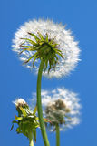 Fluffy white dandelion Royalty Free Stock Images