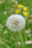 A fluffy white dandelion Royalty Free Stock Images