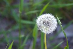 Fluffy white dandelion ball. Close up of alone fluffy white dandelion ball on a blurred background of green meadow grass in the sunlight royalty free stock photos