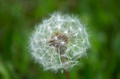 Fluffy white dandelion with bokeh royalty free stock photo