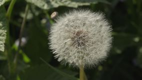 Fluffy white dandelion close up in the garden.  stock video footage