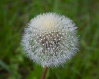 Fluffy white dandelion closeup Royalty Free Stock Photos