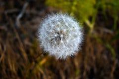 Closeup of fluffy white dandelion royalty free stock image