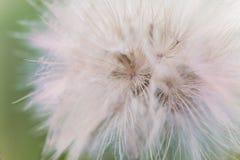 Fluffy white dandelion flower Royalty Free Stock Photography