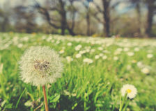 Fluffy white dandelion in green field in spring; retro style Royalty Free Stock Image