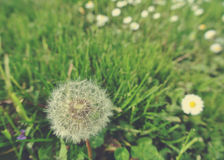 Fluffy white dandelion in green field in spring; retro style Royalty Free Stock Photography
