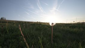 Fluffy White Dandelion Head and Seeds in a field taken during a beautiful spring sunset. 4K Footage of a Dandelion head taken against a bright blue sky in a stock video footage
