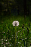 Fluffy white dandelion Stock Photography