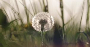 Fluffy white dandelion in the summer in the yard.  stock video footage
