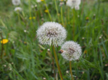 Fluffy white dandelions on a meadow Royalty Free Stock Photography