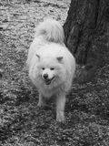 Fluffy white dog. Black and white picture of the fluffy white dog in the frosty weather Stock Photography