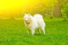 A fluffy white dog breed sammy happily plays on a green lawn. pet walking royalty free stock image