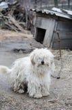 Fluffy white dog. Royalty Free Stock Photography