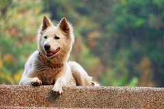 Fluffy White Dog Royalty Free Stock Photo