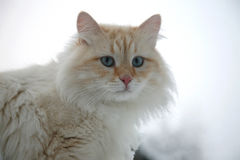 Fluffy white ginger adult cat Stock Photos
