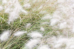 Fluffy white grass are shaking on the wind Stock Photo