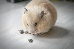 Hamster and sunflower seeds royalty free stock photo