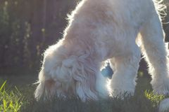 Fluffy and playful, white labradoodle playing in the grass with a baseball on a warm, sunny afternoon stock photos