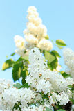 Fluffy white lilac tree branch with Stock Image
