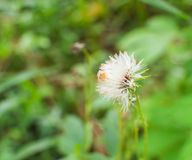 Fluffy white plant Royalty Free Stock Images