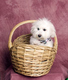 Fluffy White Puppy In A Wicker Basket. Stock Image