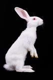 Fluffy white rabbit Stock Images
