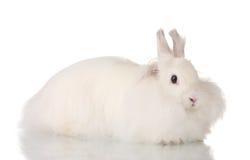 Fluffy white rabbit Stock Photography