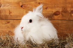 Fluffy white rabbit Royalty Free Stock Photography