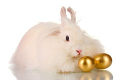Fluffy white rabbit with golden eggs Stock Photos