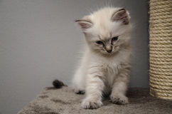 A fluffy white ragdollkitten. A little fluffy ragdollkitten looking down at something royalty free stock photos