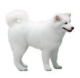 Fluffy white Samoyed dog Royalty Free Stock Photography