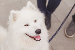 Samoyed dog with leach Royalty Free Stock Photography