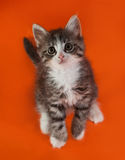 Fluffy white and striped kitten standing on hind legs on orange Royalty Free Stock Photo