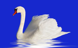 Fluffy white swan. Stock Images
