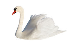 Fluffy white swan. Royalty Free Stock Image