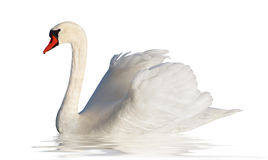 Fluffy white swan. Royalty Free Stock Images