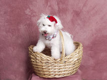 Fluffy White Terrier In A Wicker Basket. Stock Photography