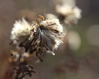Fluffy Winter Seed Heads Royalty Free Stock Photography