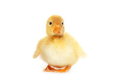 Fluffy yellow baby duckling Royalty Free Stock Image